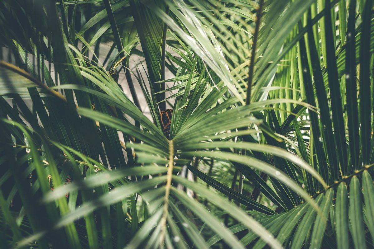 palm plant wax